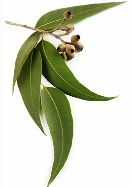christmas tree plants for sale uk